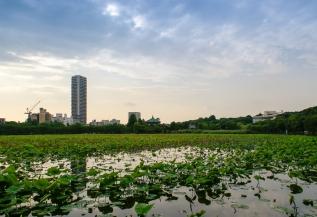 Der Shinobazu See ist große See im Ueno Park, er ist bedeckt mit Lotosblumen.