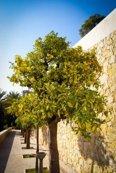 Orangenbäume an der Mauer des Castillo