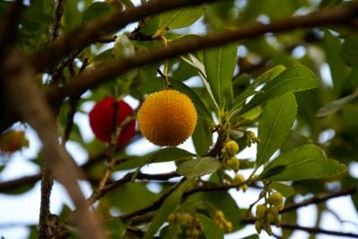 Eine unbekannte Frucht
