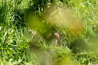Ein Grauhörnchen