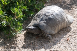 Wildlebende Breitrandschildkröten sind keine Seltenheit auf Sardinien. Diese hier kam eines Nachmittags zu Besuch.