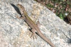 Auch die Tyrrhenische Mauereidechse ist typisch für Sardinien. Diese kleinen ca. 20 cm langen Tierchen sind allerdings sehr scheu und flink.